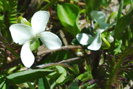 Viola macloskeyi