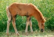 Equus caballus