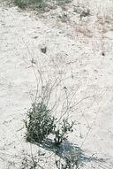 Eriogonum nudum var. decurrens