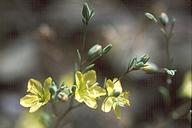 Hesperolinon bicarpellatum