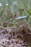 Juncus leiospermus var. leiospermus