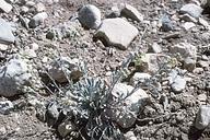 Physaria kingii ssp. bernardina