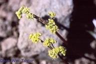 Lomatium stebbinsii