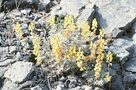 Lupinus citrinus var. citrinus