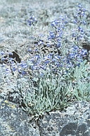Penstemon cinereus