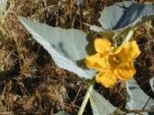Cucurbita foetidissima