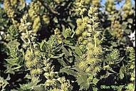 Ambrosia ilicifolia