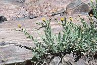 Erigeron petrophilus var. petrophilus