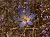 Brodiaea orcuttii