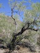 Chilopsis linearis ssp. arcuata