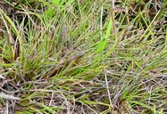 Isolepis cernua