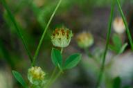 Trifolium cyathiferum
