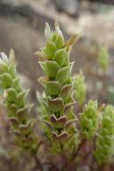 Orthocarpus cuspidatus