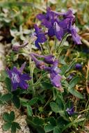 Delphinium decorum ssp. decorum