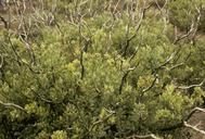 Arctostaphylos tomentosa ssp. tomentosa