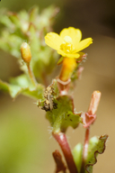 Camissoniopsis intermedia