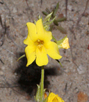 wide mouth monkeyflower