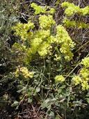 Eriogonum prattenianum var. prattenianum