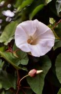 Calystegia silvatica