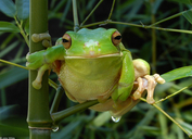 Gaint Or White-lipped Treefrog