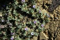 Astragalus kentrophyta var. tegetarius