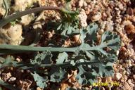 Eschscholzia minutiflora ssp. twisselmannii