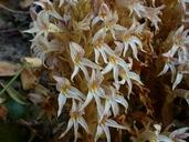 Orobanche californica ssp. jepsonii