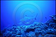 Carcharhinus melanopterus