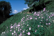 Large-flowered Mallow