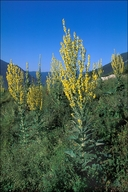 Verbascum lychnitis