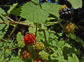 Rubus armeniacus