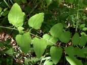 Smilax jamesii