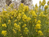 Ericameria nauseosa var. speciosa