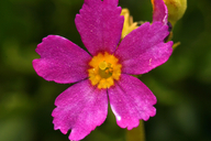 Primula suffrutescens
