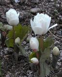 Sanguinaria canadensis ssp. flore plena