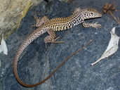 Westerb Whiptail