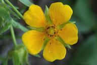 Potentilla flabellifolia