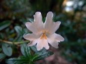 Mimulus aurantiacus var. grandiflorus
