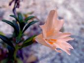 Diplacus grandiflorus