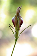 Cordylanthus tenuis ssp. viscidus