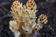 Pleuricospora fimbriolata