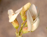 Astragalus johannis-howellii