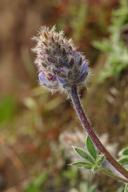Lupinus lepidus var. lobbii