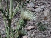 Cirsium cymosum var. canovirens