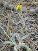 Hulsea vestita ssp. callicarpha