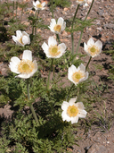 Anemone occidentalis