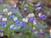 Collinsia torreyi var. latifolia