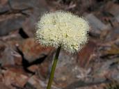 Eriogonum compositum var. compositum