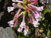 Penstemon tracyi