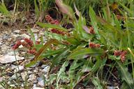 Rumex californicus